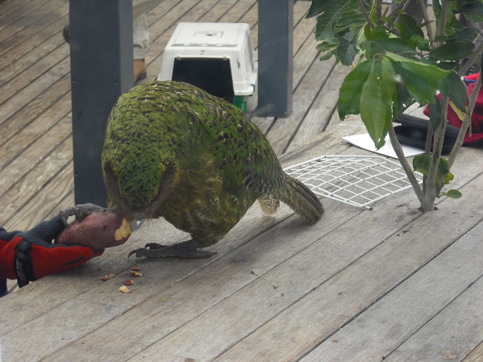 Room 2 clifton terrace school nelson kakapo visits our for 5 clifton terrace winchester b b