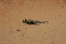 2009 Julho - Angola - Deserto do Namibe - Welwitchia mirabilis