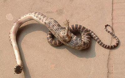 5 ular termahal didunia