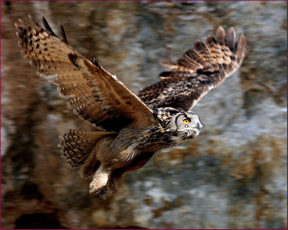 Eagle owl hunting fox