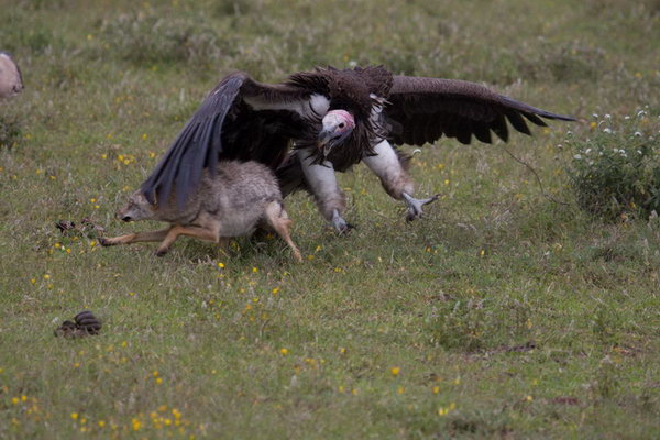 Black Vulture  Hawk Mountain Sanctuary Raptor