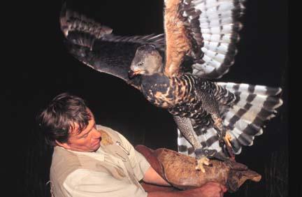 Comparação do tamanho de águias  com relação ao homem. African+Crowned+Eagle+02