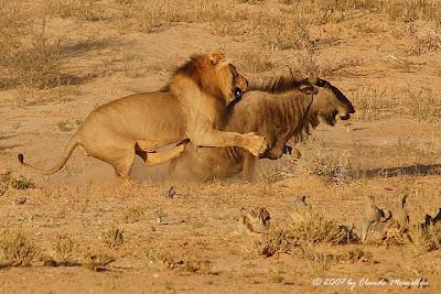 lion attacks wildebeest - top ten predators