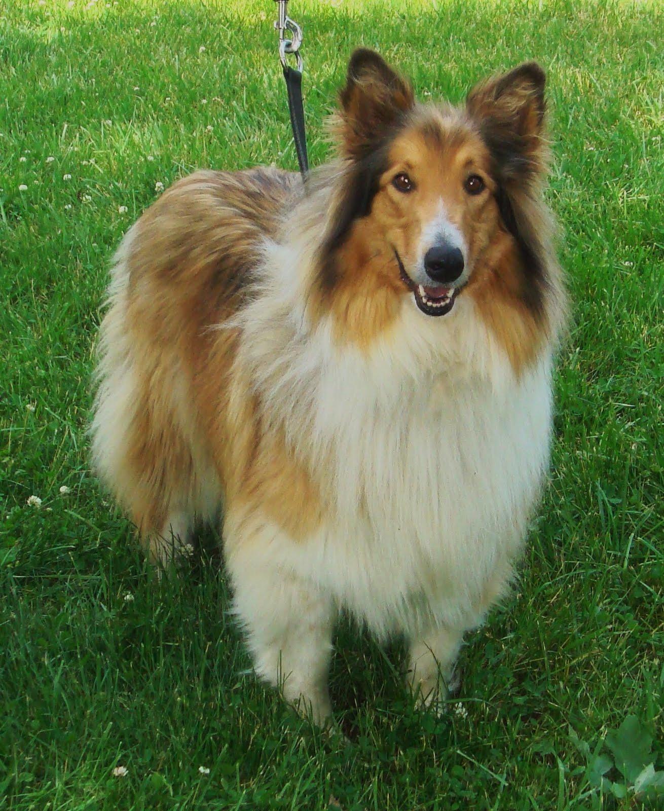 Va Dog Rescue: Lassie ...