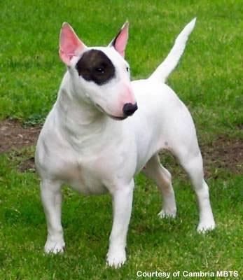 perros presa: Bull Terrier