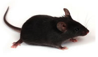 image of mouse