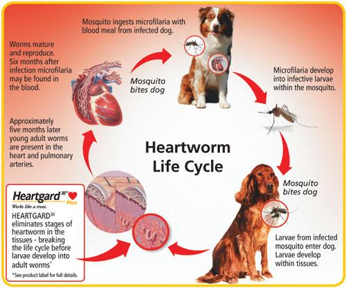 Zeus Medical Directory: Heartworm Disease