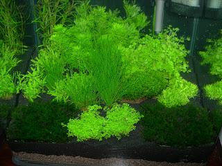 Paris c t jardin l 39 aquarium crevettes un mini jardin aquatique - Noms de plantes aquatiques ...