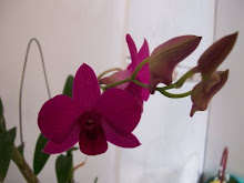 ORQUIDEA
