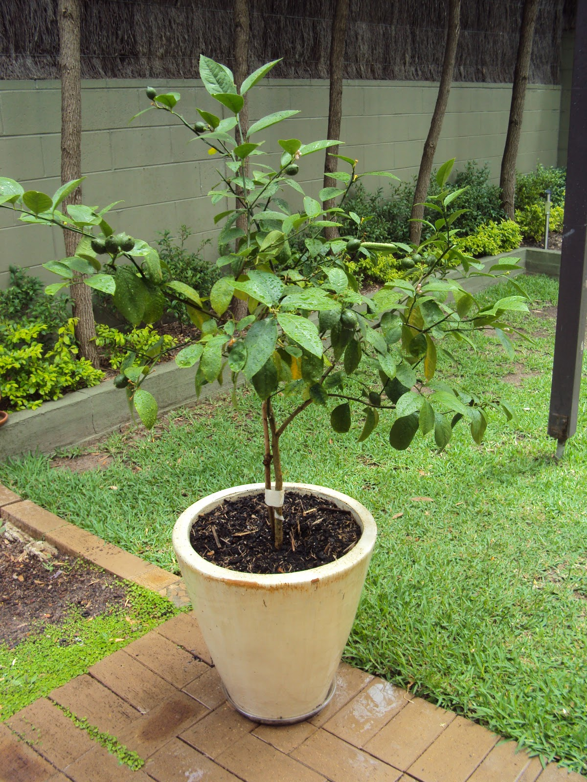 my dwarf meyer lemon tree happily growing in a pot