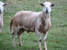 Twin from a yearling ~ Seven month old ram lamb.
