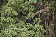 Chimpansee Jumbo