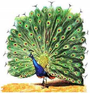Pavão (ave)