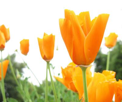 Фотообои - тюльпаны