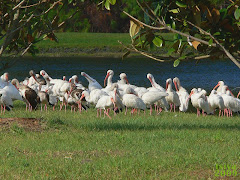 White Ibis, flock