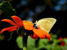 SULPHUR ON MEXICAN SUNFLOWER