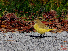 PALM WARBLER