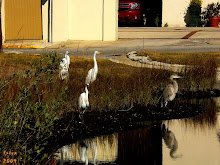 DOWNTOWN BIRDS, ST, AUGUSTINE