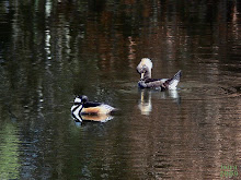 Hooded Merganser Lophodytes cucullatus