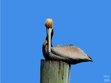 Brown Pelican Pelicanus occidentalis