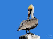 Brown Pelican white neck