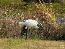 Wood Stork  Mycteria americana