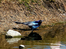 Boat-tailed Grackle Quiscalus major