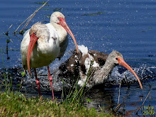 White Ibis , Eudocimus albus