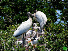 WOOD STORK