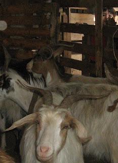 marco e capre