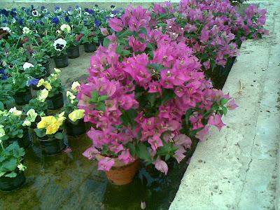 Plantas y flores torroba buganvilla for La buganvilla zaragoza