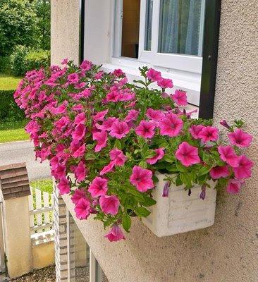 Plantas y flores torroba surfinia o petunia colgante - Plantas para macetas exterior resistentes ...