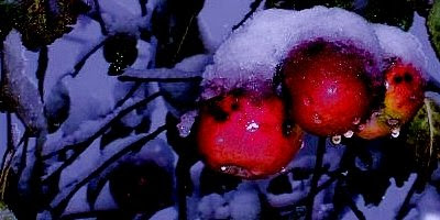 Apples in first snow
