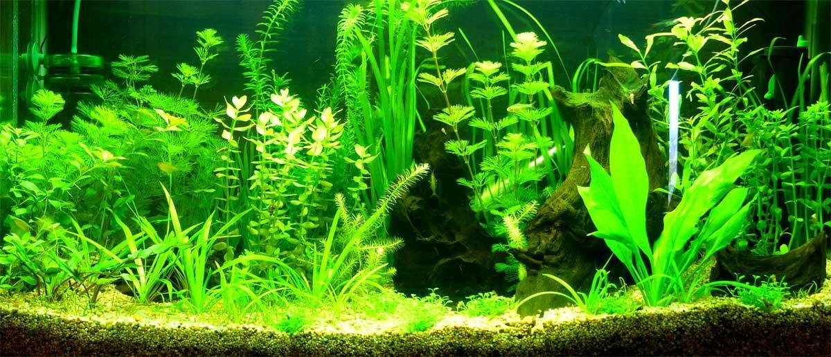 Peces de agua dulce fotos de plantas para pecera - Pecera de pared ...