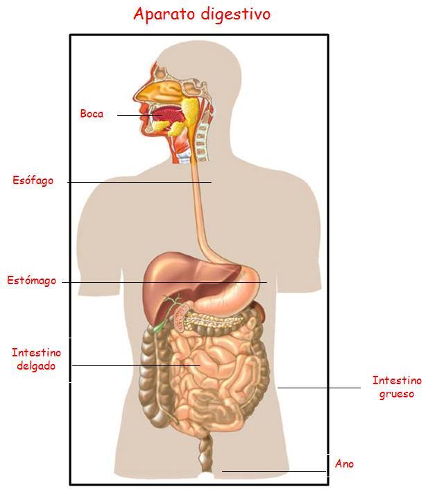 El cuerpo humano y sus partes en ingles y su pronunciacion for Bedroom y sus partes en ingles