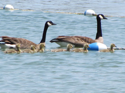 geese-at-shadowcliff-park