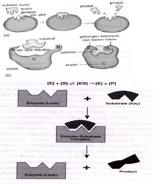 MANDIRAJA SEHATI: metabolisme.tubuh