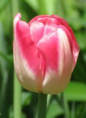 Steve's PD Tulip