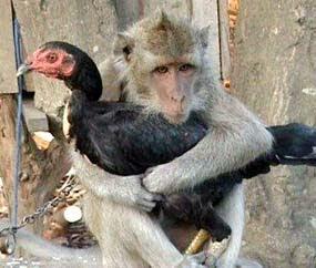 http://1.bp.blogspot.com/_KK43CHCvDUE/TH6dAzWR8BI/AAAAAAAAAEg/XOf2NY6uM6I/s320/Monyet+Pacaran+dengan+Ayam.jpg