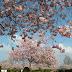 Kirschbaumblüte auf Schloss Salem