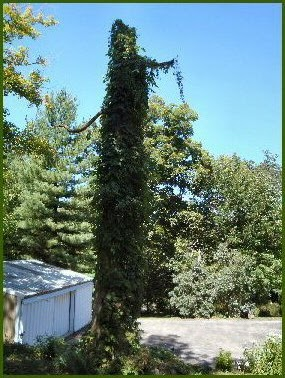 hops covered - spooky tree photo
