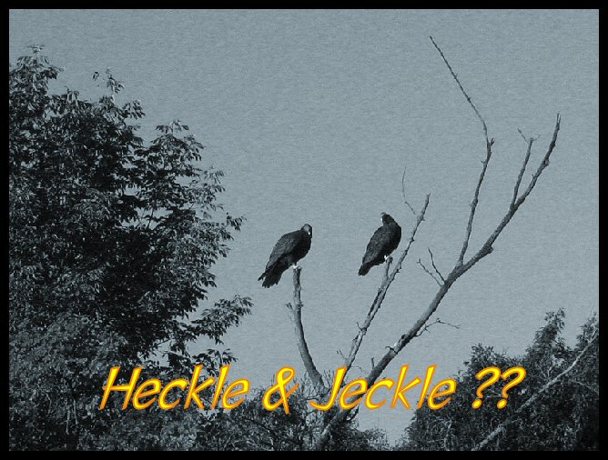 heckle jeckle turkey vultures photo image