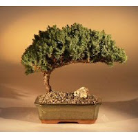 Juniper_Bonsai_Tree