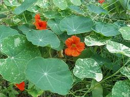 Nasturtiums growing outside my bedroom window