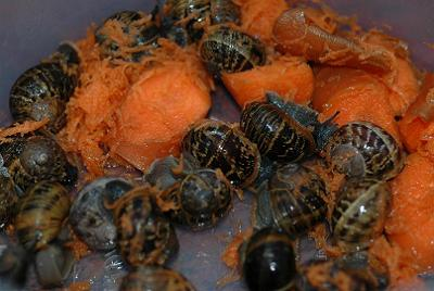 Snails love a cold shower and a bit of juicy carrot