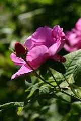 Rosa Officinalis