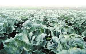 tanaman sayuran yang sudah