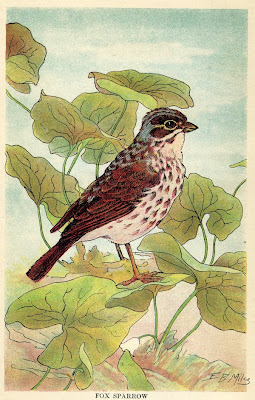 Fox Sparrow, from Our Southern Birds