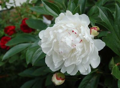 White peony blossom, June 2006