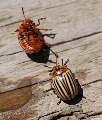 Colorado Potato Beetles, male and female